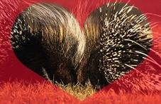 Cape Porcupines in Love