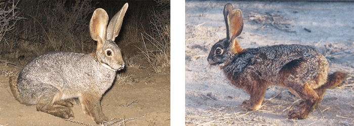 The Riverine Rabbit