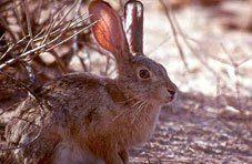 The Cape Hare Rabbit