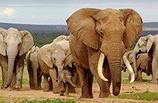 The Big 5 - Elephant