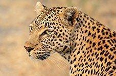 The Big 5 - Leopard