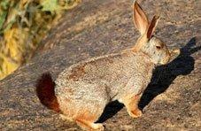 Red Rock Hare