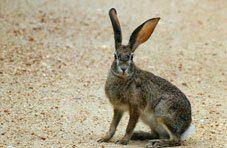 Scrub Hare Rabbit