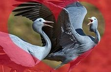 Blue Cranes in Love