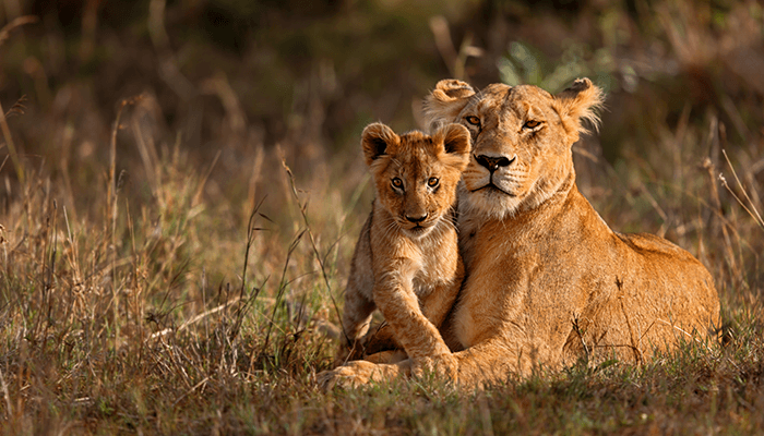 Mother Lion